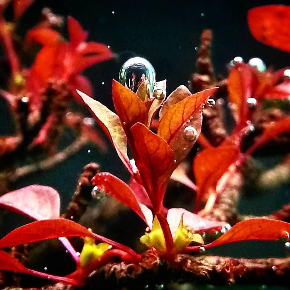 cây màu đỏ thở trong hồ thủy sinh