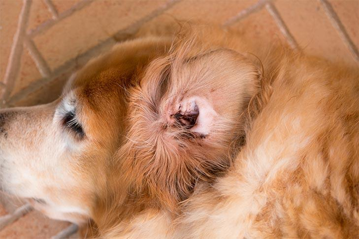 Diagnosis Needed for a Dog's Ear Infections