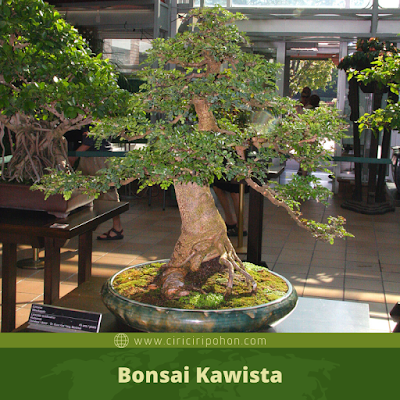 Bonsai Kawista