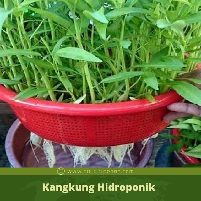 Ciri Ciri Pohon Kangkung Hidroponik