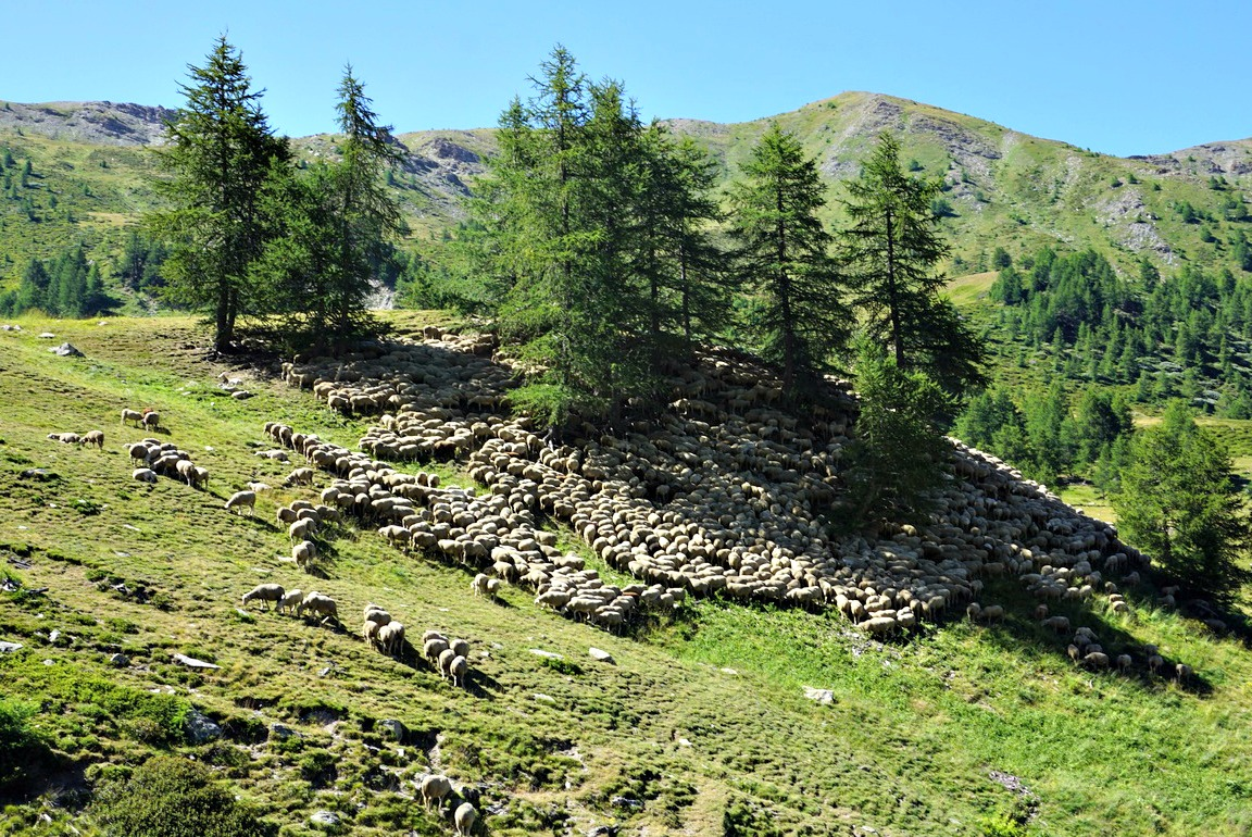 Sheep flock by trail to Col d'Urine