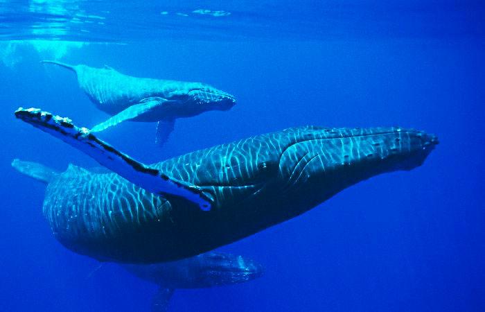 Baleia Jubarte (Megaptera novaeangliae)