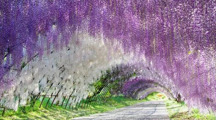 mutlaka görmeniz gereken 10 yer wisteria tüneli