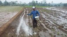 Manfaat pemberian kapur pada tanah masam