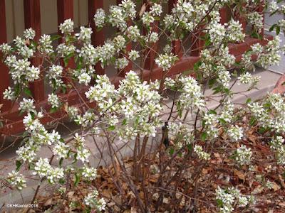 serviceberry, Amelanchier alnifolia