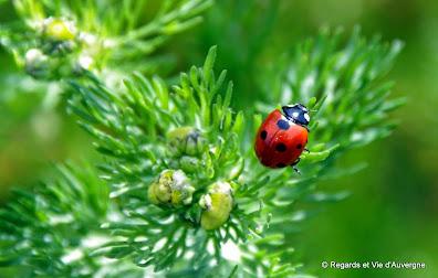 Insecte d'été : coccinelle