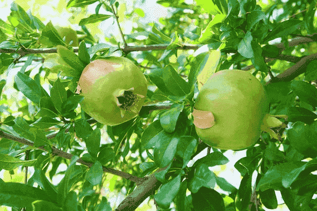 Benefits of Pomegranate Leaves and Pomegranate Leaf Content