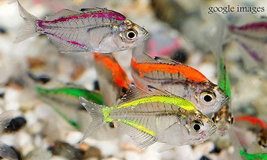 Ikan Kaca atau Glass Fish, Ikan Hias Kecil Bertubuh Transparan