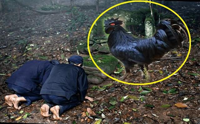 'Nghi thức' kỳ quái của những tay trộm cổ mộ khôn lỏi: Thả gà trống trước cửa mộ rồi mới dám thâm nhập - Vì sao?