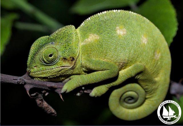 Χαμαιλέων: ο μεγαλύτερος κίνδυνος για την επιβίωση των ειδών είναι η άγνοια