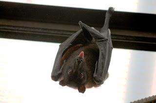 Bats. Fact about Bats. चमगादड़। रोचक तथ्य।