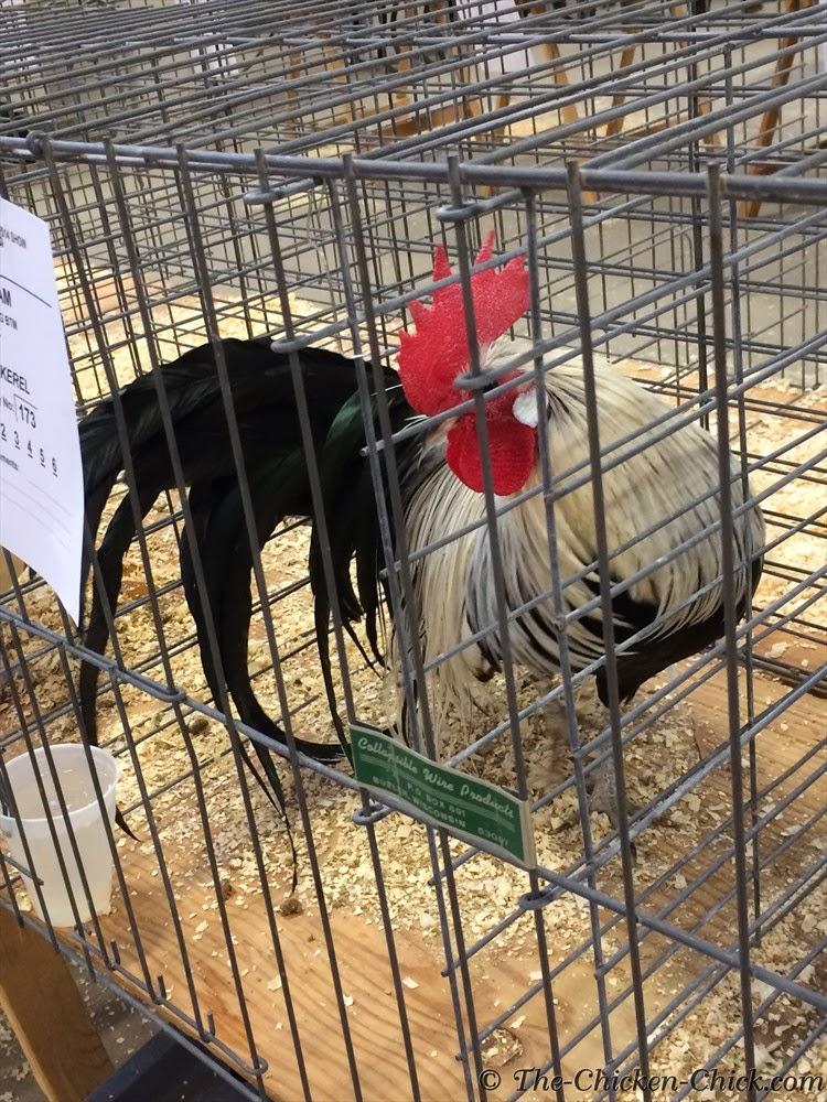Bantam Silver Phoenix cockerel