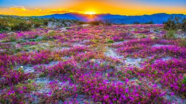 Desierto florido en Anza-Borrego Desert, el parque estatal más grande y seco de California