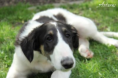 borzoi puppy for sale