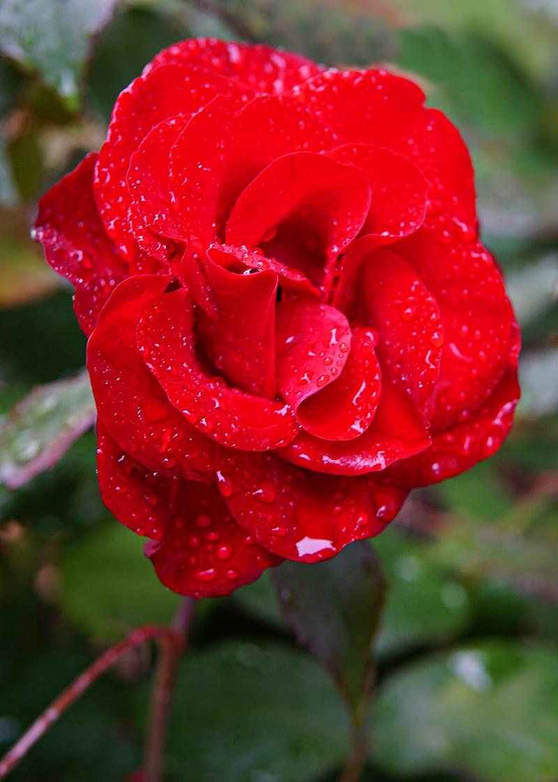 sadepäivä, ruusu