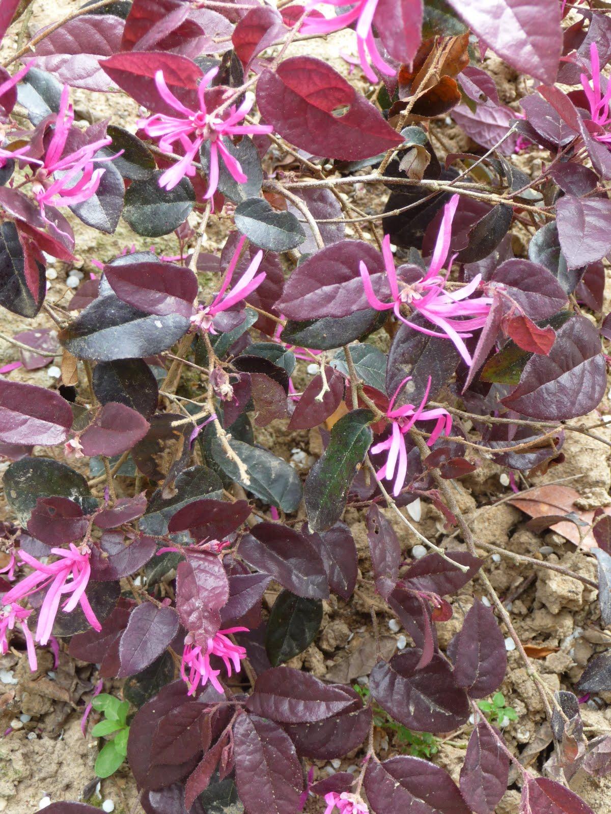 Ma terre de bruy re pourpre purpurea ou purple for Comarbuste a feuille rouge