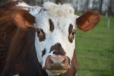 Normande Cattle Advantages, Disadvantages, Facts, Milk, Weight, Origin