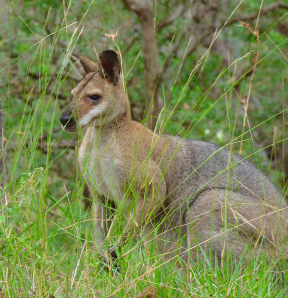 wild wallaby in the bush of the Hinterlands