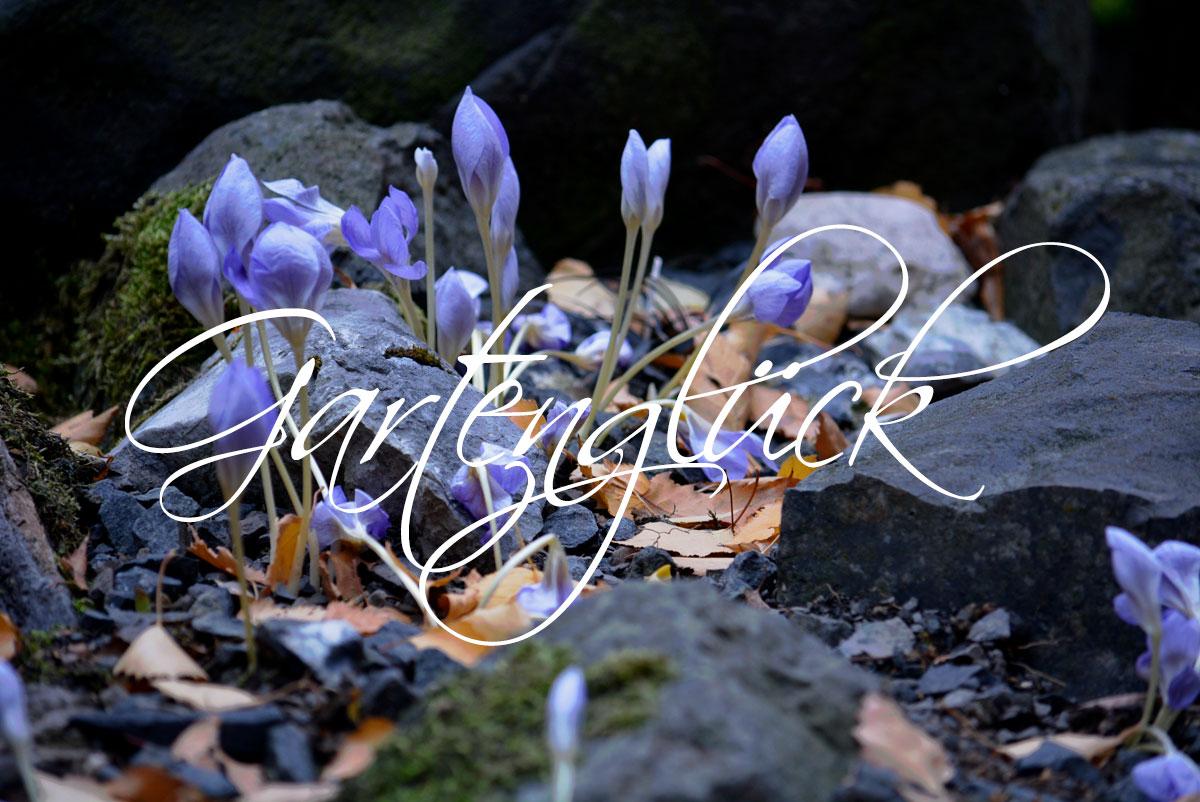 Herbstkrokus, Crocus speciosus