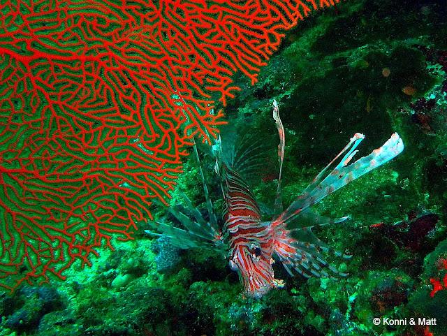 lionfish, gorgonia, pulau weh, sumatra, tropical sea,