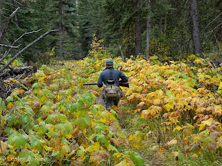 Hunting ruffed grouse, amidst the thimbleberry patch
