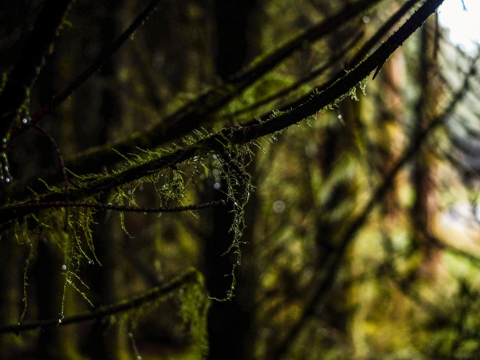 Dewy moss hanging off a tree branch inside a forest.