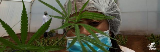 África debe abolir las leyes coloniales contra el cannabis para desbloquear una industria de US$ 7 mil millones