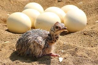 about Ostrich in Hindi   शुतुरमुर्ग के बारे में जानकारी