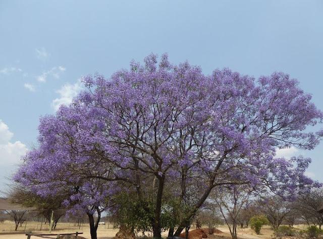 jacaranda fiorita nel centro