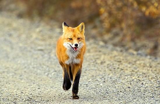 Θεσπρωτία: Υπερπληθώρα αλεπούδων στους δρόμους της Θεσπρωτίας
