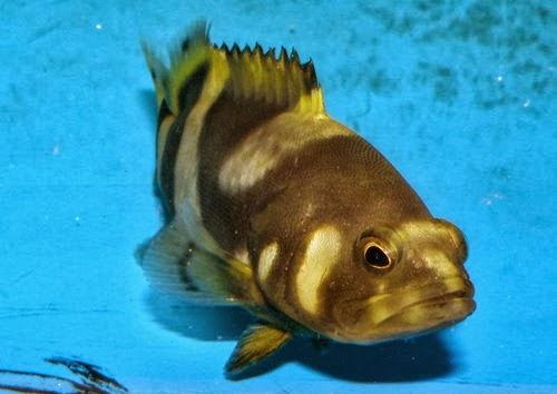 金魚快訊部落格Goldfish message blog: 龍膽石斑(Epinephelus lanceolatus)&珍珠龍膽石斑(Epinephelus fuscoguttatus♀* Epinephelus ...