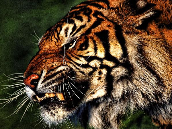 खूंखार  टाइगर इमेज  का फोटो डाउनलोड