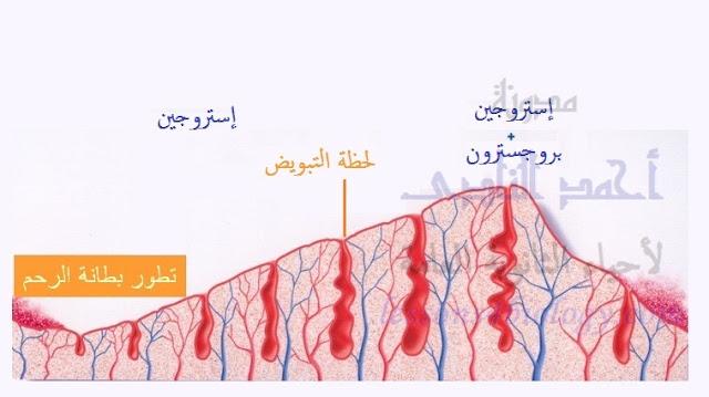 الدورة الشهرية - الطمث - دورة التزاوج - مرحلة نضج البويضة - حويصلة جراف - البروجسترون