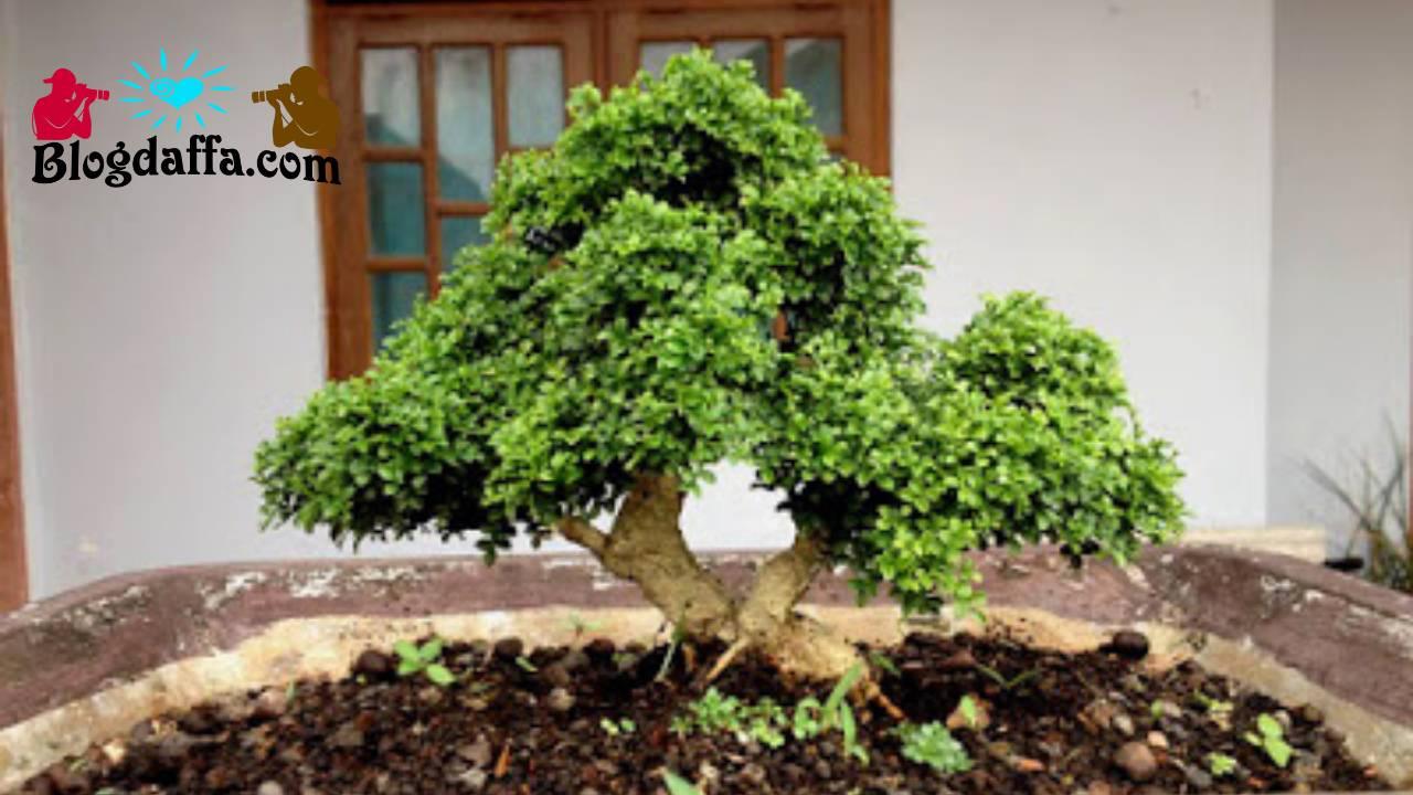 Syarat tumbuh bonsai kemuning