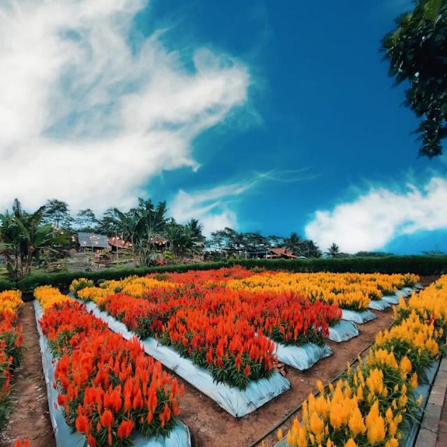 Agro Wisata Tamansuruh Banyuwangi