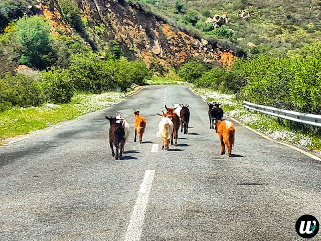 Goats on the road | Sardinia, Italy | wayamaya