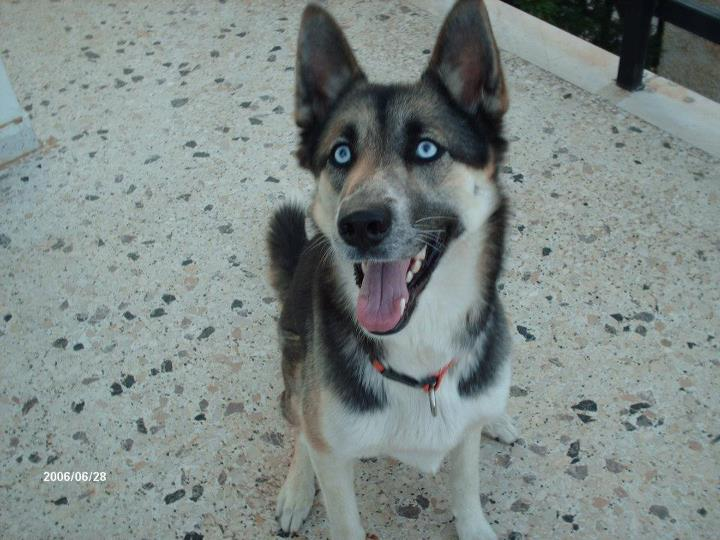 8dbe990815a5 DogWorld  Ημίαιμο θηλυκό χάσκυ 1 έτους ψάχνει σπίτι