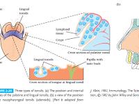Tonsils Diagram