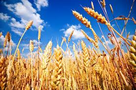 Iraq buys US wheat ~ Iraq TradeLink News Agency
