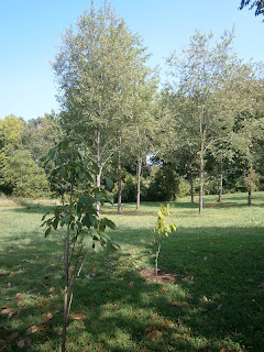 Grove of Established Black Cherry Trees with Pawpaw Tree Seedlings