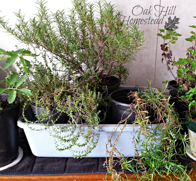 Rosemary, thyme and tarragon, indoors for the winter.