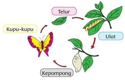 Daur hidup kupu-kupu