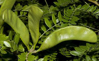 Espina corona Gleditsia amorphoides