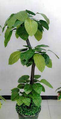 Gambar Pohon  Hias Alpukat