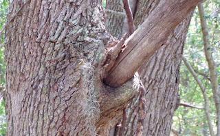 Necrotic tree limb stub
