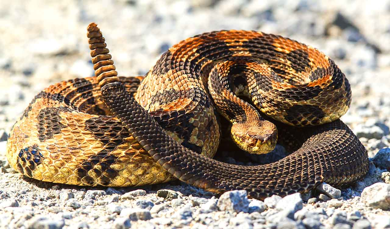 How To Identify Poisonous And Poisonless Snakes Poxox