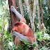 Bako National Park : à la rencontre des singes nasiques
