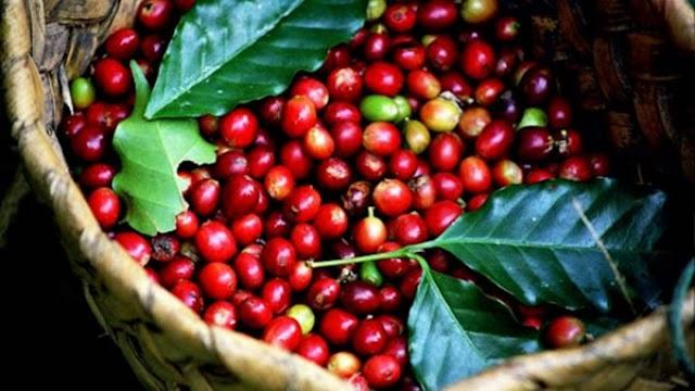 Giá cà phê hôm nay 12/6: Tăng nhẹ 100 đồng/kg