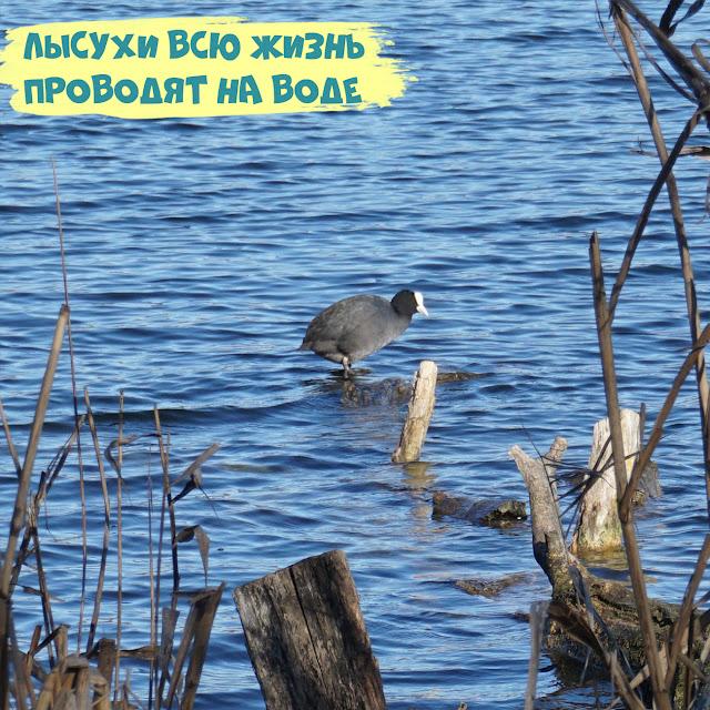 лысуха Крым Симферополь