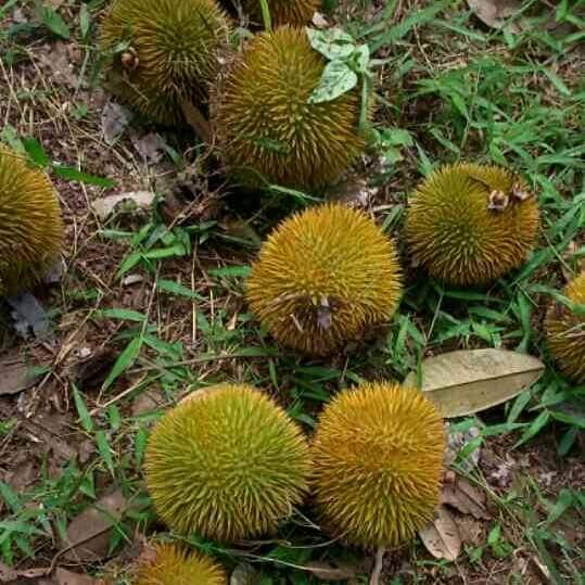 Buah Durian Lai matang yang Jatuh